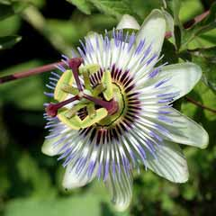 passion_flower_fin